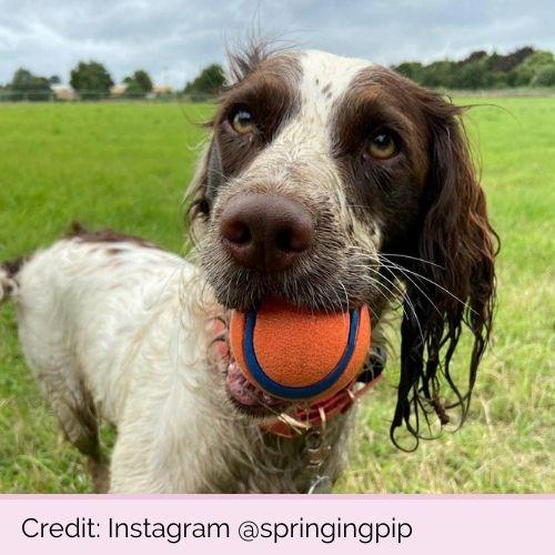 @springingpip PP11598 Chuckit Ultra Ball Medium 2