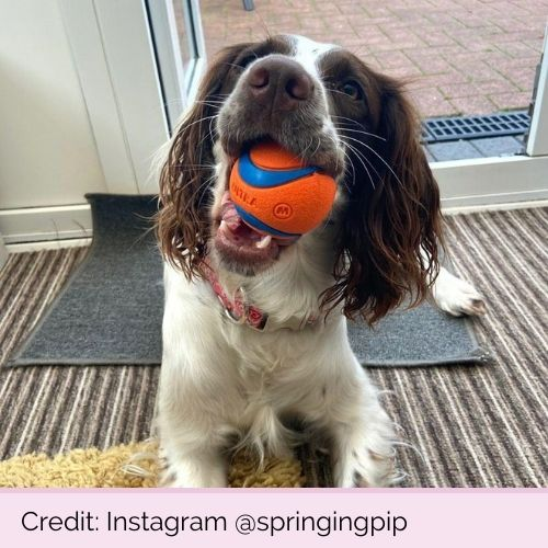 @springingpip PP11598 Chuckit Ultra Ball Medium 3