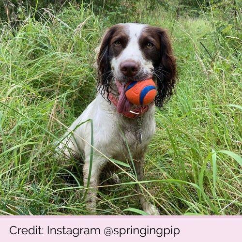 @springingpip PP11598 Chuckit Ultra Ball Medium